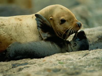 A Steller Sea Lion Cow Exchanges a Kiss with Her Pup-Joel Sartore-Photographic Print