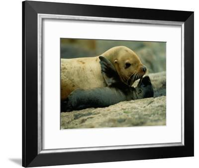 A Steller Sea Lion Cow Exchanges a Kiss with Her Pup-Joel Sartore-Framed Photographic Print
