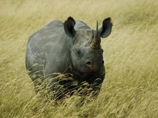 A Straight on View of a Rhinoceros in a Field of Tall Grass-Todd Gipstein-Photographic Print