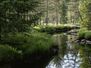 A Stream Wanders Through a Lush Taiga Forest