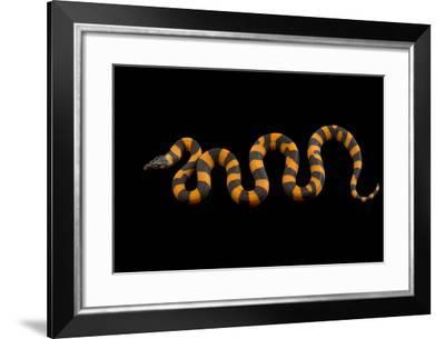 A Studio Portrait of a Bismarck Ringed Python, Bothrochilus Boa.-Joel Sartore-Framed Photographic Print