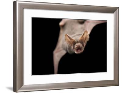 A Studio Portrait of a Brazilian Free-Tailed Bat, Tadarida Brasiliensis-Joel Sartore-Framed Photographic Print