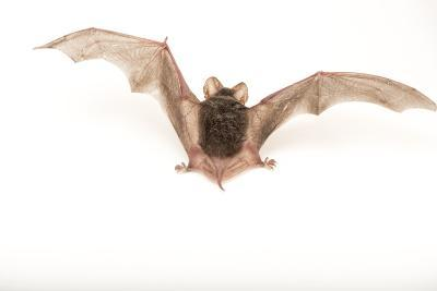 A Studio Portrait of a Brazilian Free-Tailed Bat, Tadarida Brasiliensis-Joel Sartore-Photographic Print