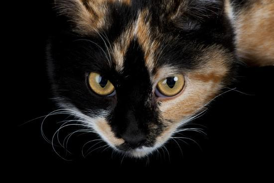 A Studio Portrait of a Calico Cat Named Cassie-Joel Sartore-Photographic Print