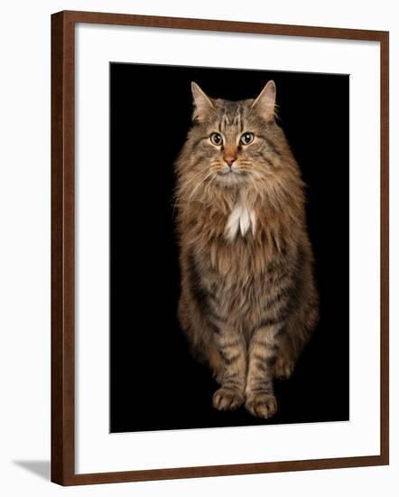 A Studio Portrait of a Domestic House Cat Named Rocket-Joel Sartore-Framed Photographic Print