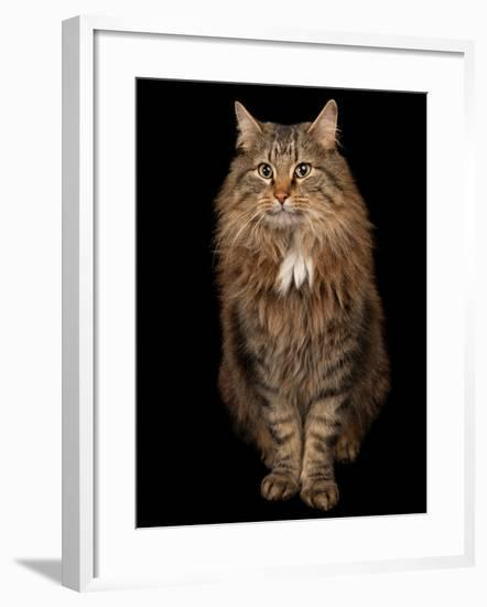A Studio Portrait of a Domestic House Cat Named Rocket-Joel Sartore-Framed Photographic Print