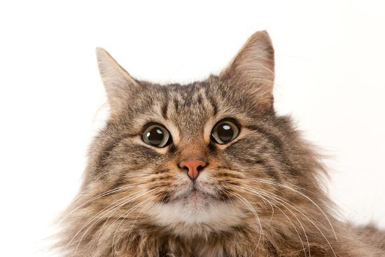 A Studio Portrait of a Domestic House Cat Named Rocket-Joel Sartore-Photographic Print