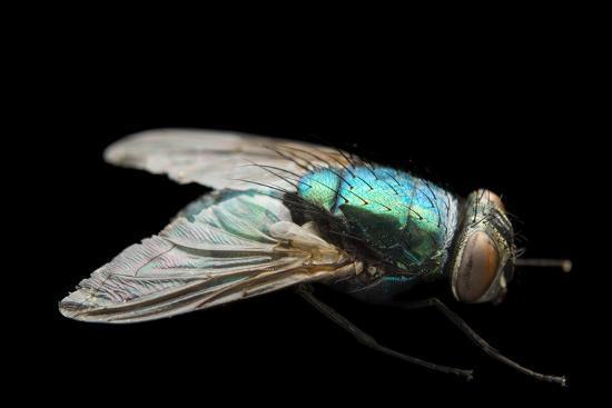A Studio Portrait of a Fly in Lincoln, Nebraska.-Joel Sartore-Photographic Print