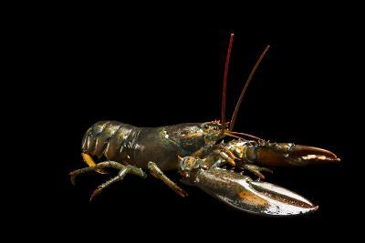A Studio Portrait of an American Lobster, Homarus Americanus.-Joel Sartore-Photographic Print