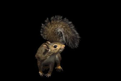 A Studio Portrait of an Eastern Gray Squirrel, Sciurus Carolinensis-Joel Sartore-Photographic Print