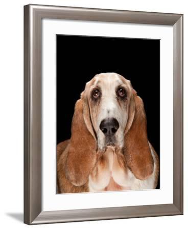 A Studio Portrait of Bogie the Basset Hound-Joel Sartore-Framed Photographic Print