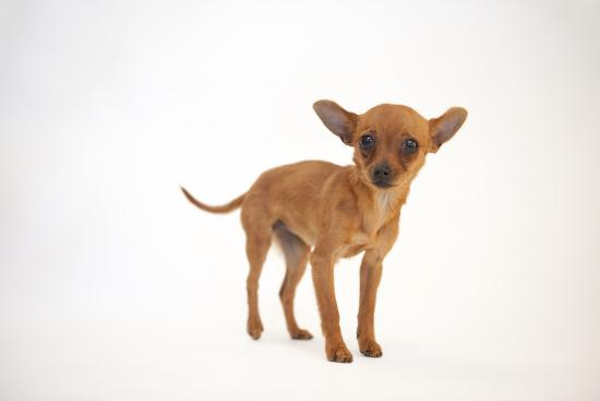 A Studio Portrait of Cinny, a Three Month-Old Chihuahua-Joel Sartore-Photographic Print
