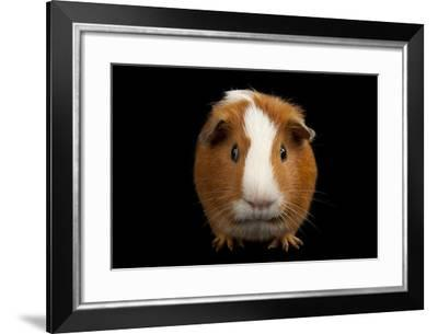 A Studio Portrait of Rutherford the Guinea Pig-Joel Sartore-Framed Photographic Print