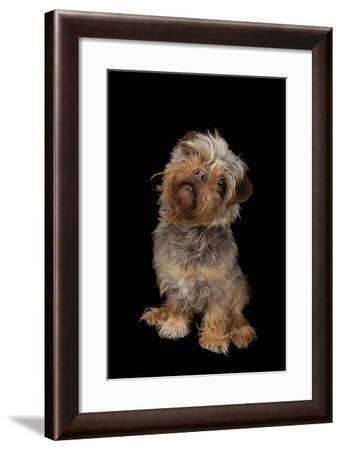 A Studio Portrait of Tasha, a Terrier Mix-Joel Sartore-Framed Photographic Print