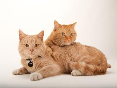 A Studio Portrait of Two Cats Named Romey and Gorby-Joel Sartore-Photographic Print