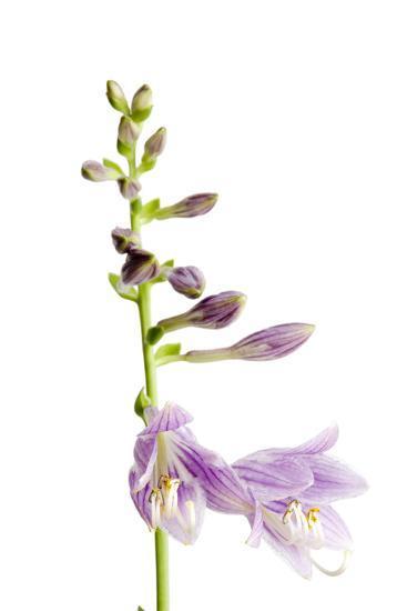 A Studio Shot of a Hosta Plant, Hosta Clausa-Joel Sartore-Photographic Print