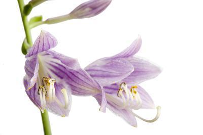 A Studio Shot of Hosta Flowers, Hosta Clausa-Joel Sartore-Photographic Print