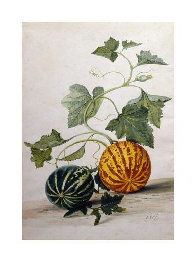 A Study of Gourds-Pieter Withoos-Giclee Print