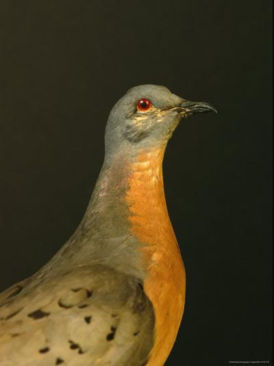 A Stuffed and Mounted Passenger Pigeon on Display at a Museum-Joel Sartore-Photographic Print