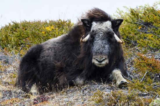 A Sub-Adult Musk Ox Resting on the Autumn Tundra-Jason Edwards-Photographic Print
