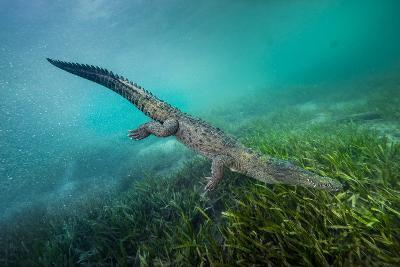 A Submerged American Crocodile, Crocodiles Acutus, Swims Above a Bed of Turtle Grass-David Doubilet-Photographic Print