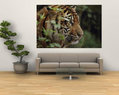 A Sumatran Tiger in the Asian Domain Exhibit-Michael Nichols-Wall Mural