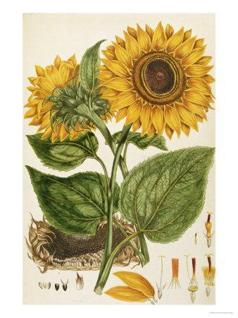 https://imgc.artprintimages.com/img/print/a-sunflower_u-l-op7yz0.jpg?p=0