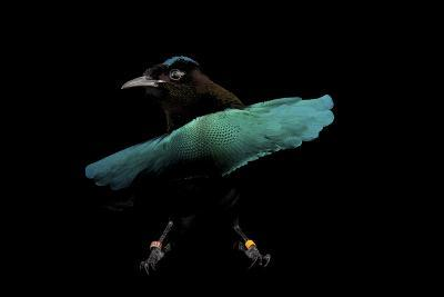 A Superb Bird-Of-Paradise, Lophorina Superba.-Joel Sartore-Photographic Print