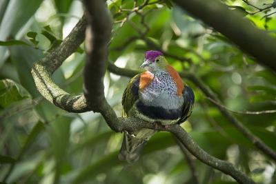 A Superb Fruit-Dove, Ptilinopus Superbus, at the Taronga Zoo-Joel Sartore-Photographic Print
