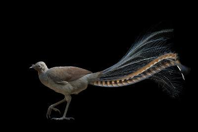 A Superb Lyrebird, Menura Novaehollandiae, at Healesville Sanctuary-Joel Sartore-Photographic Print