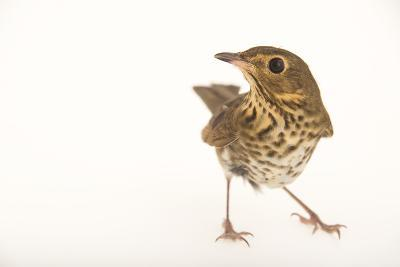 A Swainson's Thrush, Catharus Ustulatus, at St. Francis Wildlife Association-Joel Sartore-Photographic Print