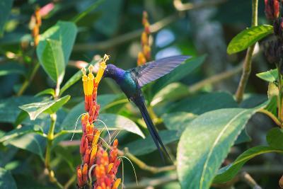 A Swallow-Tailed Hummingbird, Eupetomena Macroura, Mid Flight Feeding from a Flower-Alex Saberi-Photographic Print