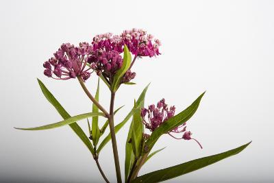 A Swamp Milkweed Flower, Asclepias Incarnata-Joel Sartore-Photographic Print
