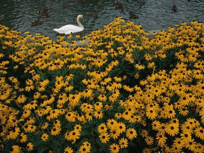 A Swan Swims Past a Beautiful Flower Bed-Raymond Gehman-Photographic Print