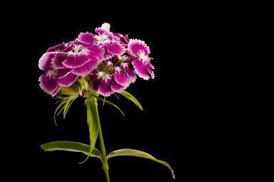 A Sweet William Flower, Dianthus Barbatus-Joel Sartore-Photographic Print