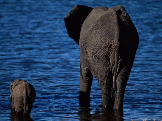 A Swimming African Elephant-Beverly Joubert-Photographic Print