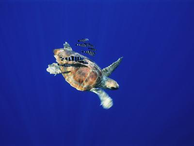 A Swimming Sea Turtle Flanked by Fish-Nick Caloyianis-Photographic Print
