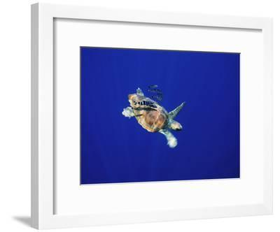A Swimming Sea Turtle Flanked by Fish-Nick Caloyianis-Framed Photographic Print