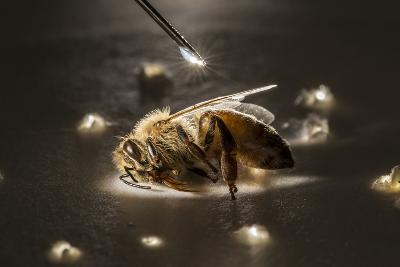 A Syringe Places a Minute Droplet of Phenothrin on a Honeybee-Anand Varma-Photographic Print