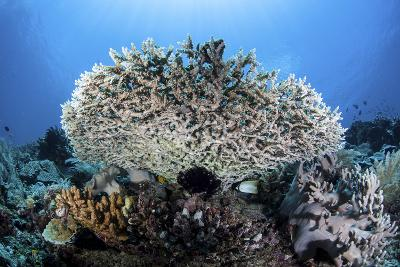 A Table Coral Grows on a Beautiful Reef Near Sulawesi, Indonesia-Stocktrek Images-Photographic Print