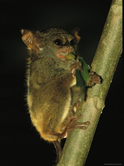 A Tarsier Climbs a Tree as it Feeds on an Insect-Tim Laman-Photographic Print