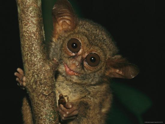 A Tarsier Eating an Insect in a Tree-Tim Laman-Photographic Print