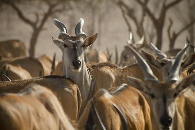 A Taurotragus Oryx Stands Out From the Crowd-Ira Block-Photographic Print