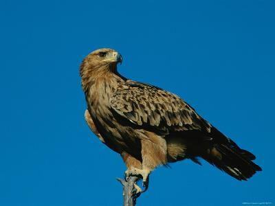 A Tawny Eagle Perches on a Limb-Beverly Joubert-Photographic Print