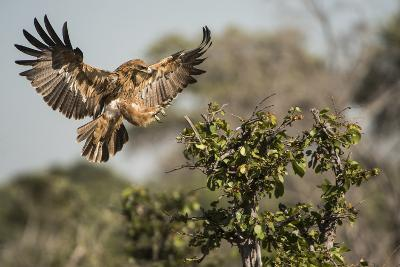 A Tawny Eagle Preparing to Land in a Tree Top-Bob Smith-Photographic Print