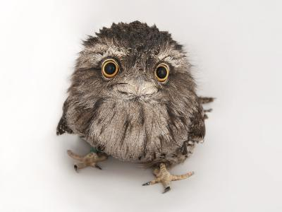 A Tawny Frogmouth Owl, Podargus Strigoides, at the Fort Worth Zoo-Joel Sartore-Photographic Print