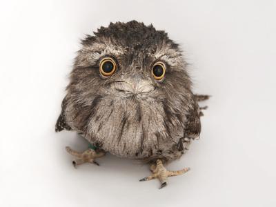 https://imgc.artprintimages.com/img/print/a-tawny-frogmouth-owl-podargus-strigoides-at-the-fort-worth-zoo_u-l-pncfu00.jpg?p=0