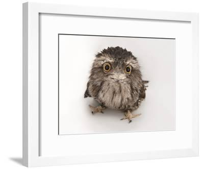 A Tawny Frogmouth Owl, Podargus Strigoides, at the Fort Worth Zoo-Joel Sartore-Framed Photographic Print
