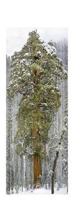 https://imgc.artprintimages.com/img/print/a-team-of-scientists-measure-a-giant-sequoia-called-the-president_u-l-pio16q0.jpg?p=0