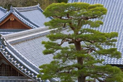 A Telephoto View Shows an Akamatsu Red Pine Tree Sculpted to Bonsai-Like Perfection, Komyo-Ji-Ben Simmons-Photographic Print